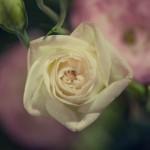 fiori-pietrasanta-2